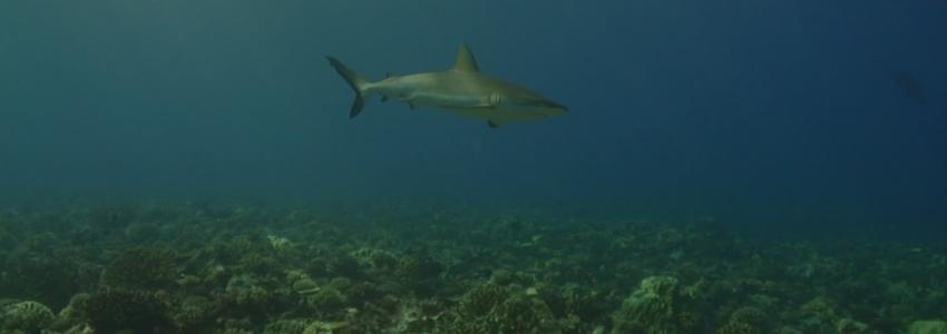 Австралийский рыбак спас почти сотню новорожденных детенышей акулы
